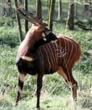 Bongo Antelope Stock Image
