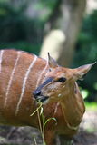Bongo (Antelope). The western or lowland bongo, Tragelaphus eurycerus eurycerus, is a herbivorous, mostly nocturnal forest ungulate and among the largest of the royalty free stock photography