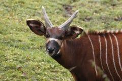 Bongo antelope. The western or lowland bongo, Tragelaphus eurycerus eurycerus, is a herbivorous stock photography