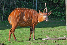 Bongo antelope Royalty Free Stock Photos