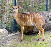 The Bongo antelope artiodactyl forest antelope mane Stock Photo
