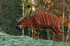 Bongo antelope, Bongo Tragelaphus eurycerus. In a great natural environment in a zoo in Borås, Sweden in autumn stock photos