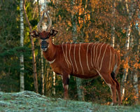 Bongo antelope, Bongo Tragelaphus eurycerus. In a great natural environment in a zoo in Borås, Sweden in autumn royalty free stock photo