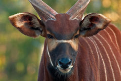 Bongo antelope, Bongo Tragelaphus eurycerus. In a great natural environment in a zoo in Borås, Sweden in autumn royalty free stock images