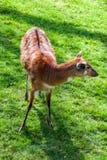 Bongo antelope Royalty Free Stock Photos