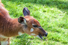 Bongo antelope Stock Photos