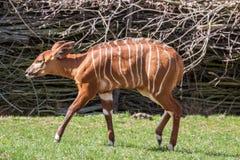 Bongo antelope Stock Images
