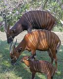 Bongo Family. A Bongo antelope family of dad, mum, and a baby not old enough to graze yet stock image