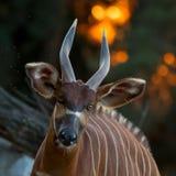 Bongo antelope. Portrait of bongo antelope in setting sun Stock Images