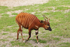 Bongo. Antelope with striking horns and stripes Stock Images