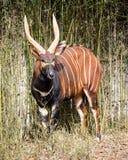 Bongo antelope. (Tragelaphus eurycerus eurycerus stock photos
