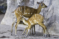 Bongo antelope, Tragelaphus Royalty Free Stock Photos
