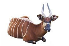 The Bongo antelope. On a white background Stock Image