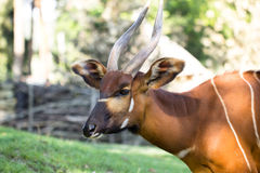 Bongo antelope at zoo Stock Images