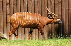 Bongo Antilope. The adult mountain bongo in the grass Royalty Free Stock Images