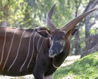 Bongo Buck. The Bongo Buck is a critically Endangered Species still considered a trophy hunt due to the length of its horns royalty free stock photos