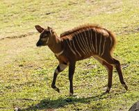 Bongo Calf. Bongo antelope on the run.  Bongo calves start growing horns when 3-4-months old royalty free stock image