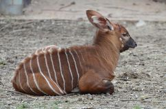 Bongo calf on the ground Stock Image
