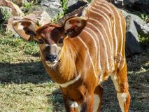 Bongo Calf in the Sun. Omage of a young, Bongo Calf, captured at a refuge here in Colorado. The bongo Tragelaphus eurycerus is a herbivorous, mostly nocturnal royalty free stock photo