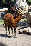 Bongo Stock Images