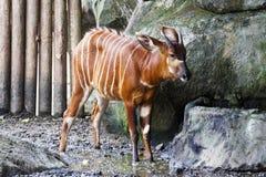 Bongo deer ,Tragelaphus eurycerus Stock Images