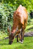 Bongo eating grass Royalty Free Stock Photography