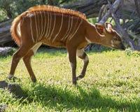 Bongo Fawn. Razor-back fur and stripes identify this Bongo antelope sulking on a beautiful Spring morning stock images