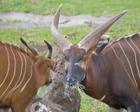 Bongo Glare. Bongo antelope do not like being disturbed when feeding Stock Photography