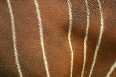 Bongo Hide. An abstract look at bongo (kinda like a deer) hide royalty free stock photo