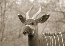 Bongo Royalty Free Stock Photo