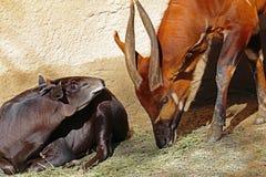 Bongo och Duiker Royaltyfri Fotografi
