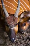 Bongo se reposant et recherchant Image libre de droits