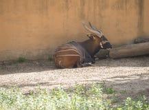 Bongo som vilar i skuggan, Tragelaphuseurycerus Royaltyfri Foto