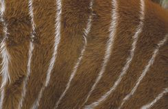 Bongo, Tragelaphus eurycerus, Stock Image