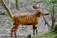 The bongo. (Tragelaphus eurycerus) is among the largest of the African forest antelope species stock image