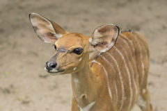 The bongo. (Tragelaphus eurycerus) is among the largest of the African forest antelope species royalty free stock photography