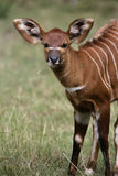 Bongo, Tragelaphus eurycerus Stock Photo