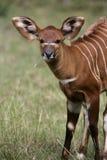 Bongo Tragelaphuseurycerus Arkivfoto