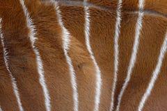 Bongo Tragelaphuseurycerus, Royaltyfri Foto