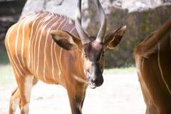Bongo & x28; Tragelaphuseurycerus& x29; Royaltyfri Foto