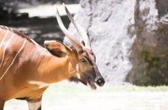 Bongo & x28; Tragelaphuseurycerus& x29; Royaltyfria Foton
