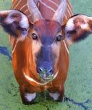 Bongos africanos Fotografia de Stock