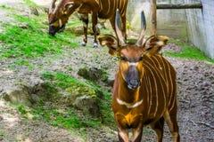 Bongos orientais da montanha com sua cara no close up, specie animal criticamente posto em perigo de Kenya em ?frica, ant?lope ho fotos de stock