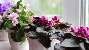 Bonita, florescendo, a violeta macia, vermelho, violetas cor-de-rosa floresce em um potenciômetro na soleira filme