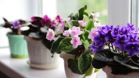 Bonita, florescendo, a violeta macia, vermelho, violetas cor-de-rosa floresce em um potenciômetro na soleira video estoque