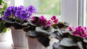 Bonita, florescendo, a violeta macia, vermelho, violetas cor-de-rosa floresce em um potenciômetro na soleira vídeos de arquivo