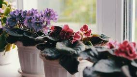 Bonita, florescendo, a violeta macia, vermelho, violetas cor-de-rosa floresce no potenciômetro na soleira vídeos de arquivo