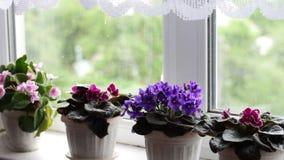 Bonita, florescendo, a violeta macia, vermelho, violetas cor-de-rosa floresce no potenciômetro na soleira acima deles do vento video estoque