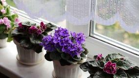 Bonita, florescendo, a violeta macia, vermelho, violetas cor-de-rosa floresce no potenciômetro na soleira acima deles do vento vídeos de arquivo