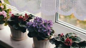 Bonita, florescendo, a violeta macia, vermelho, violetas cor-de-rosa floresce no potenciômetro na soleira acima deles do vento filme